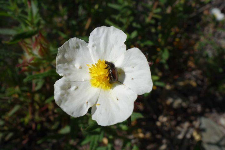 Flor de sargaço